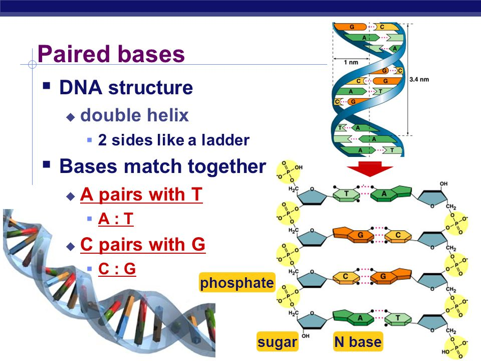 Paired bases DNA structure Bases match together double helix