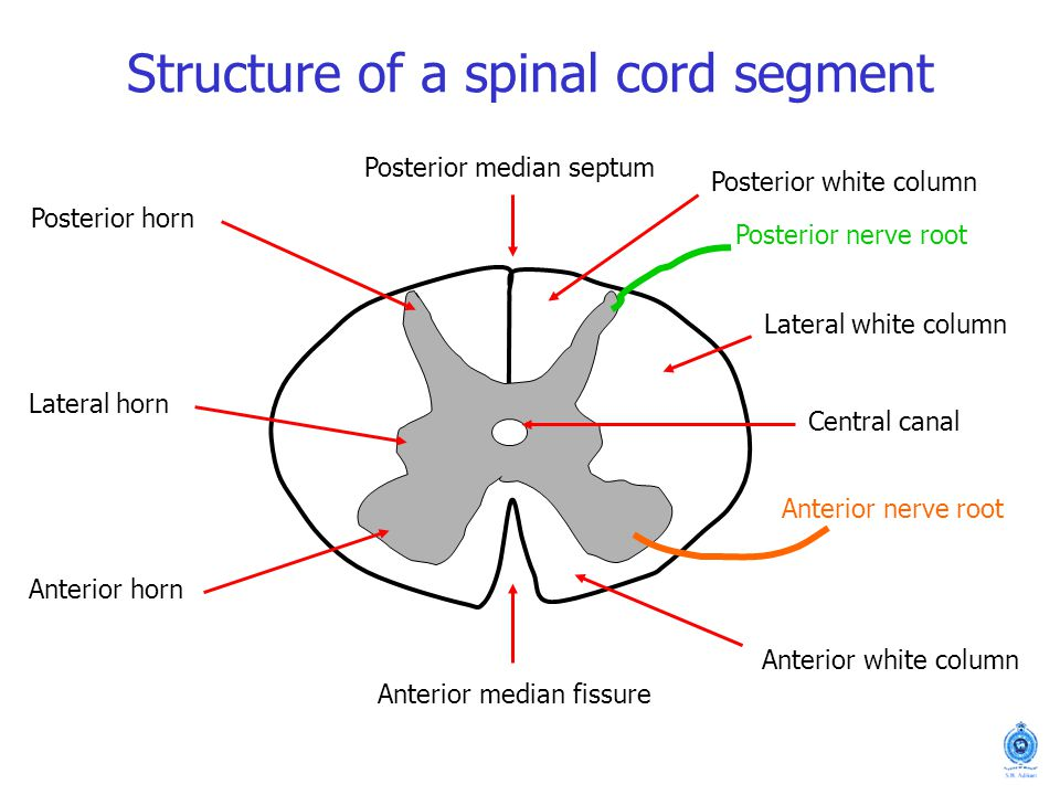 Typical Spinal Nerve Sanjaya Adikari Department Of Anatomy Ppt