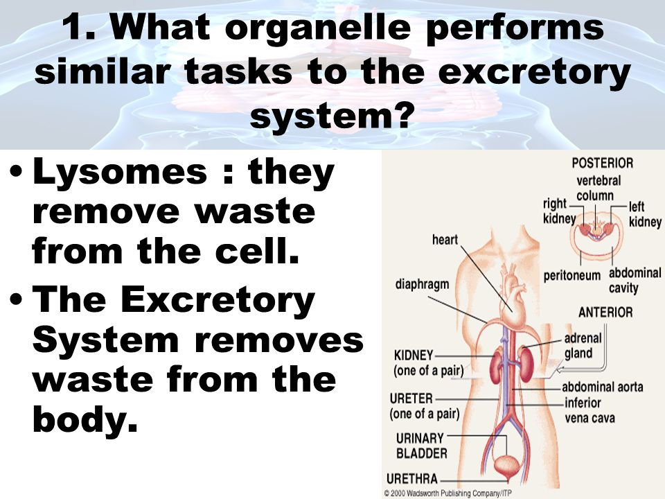 1. What organelle performs similar tasks to the excretory system