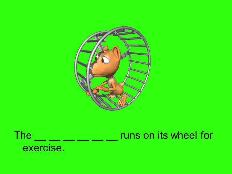 The __ __ __ __ __ __ runs on its wheel for exercise.