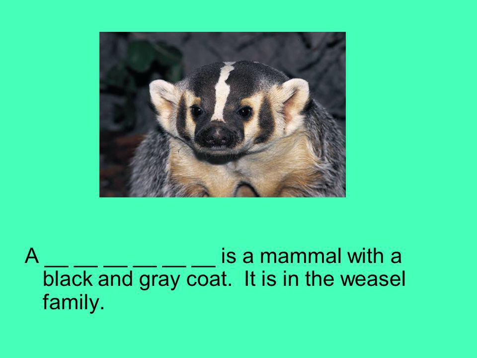A __ __ __ __ __ __ is a mammal with a black and gray coat