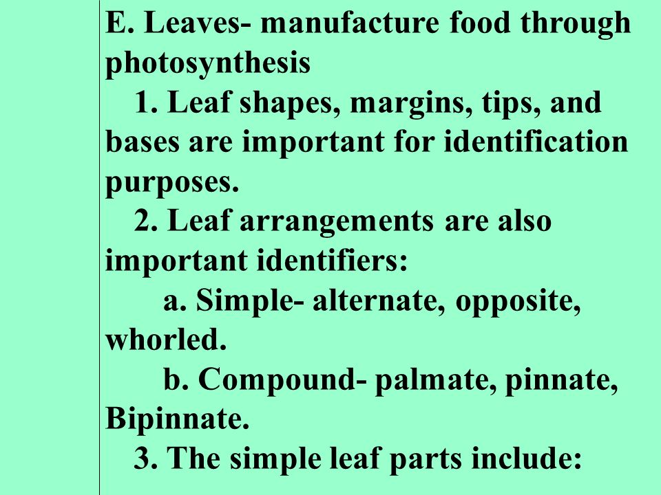 E. Leaves- manufacture food through photosynthesis