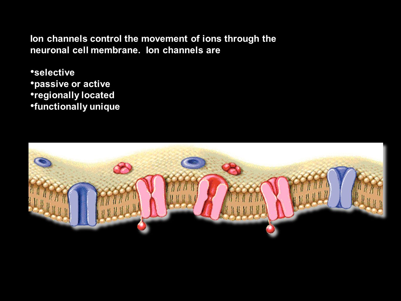 Ion channels control the movement of ions through the neuronal cell membrane. Ion channels are