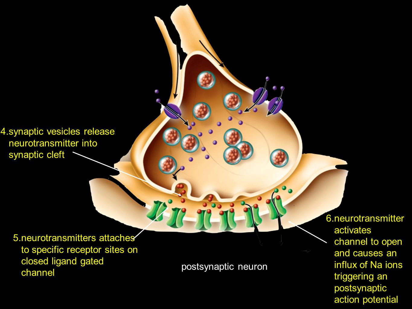 synaptic vesicles release neurotransmitter into synaptic cleft