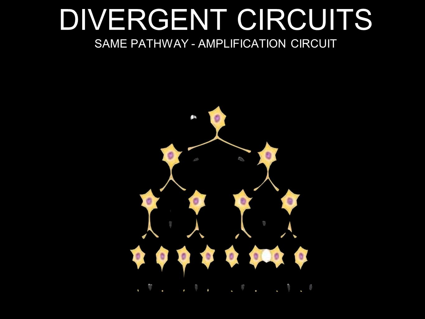 DIVERGENT CIRCUITS SAME PATHWAY - AMPLIFICATION CIRCUIT