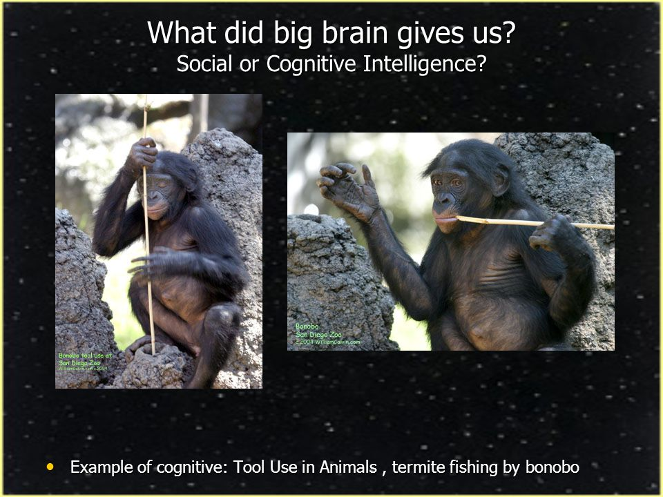 What did big brain gives us Social or Cognitive Intelligence