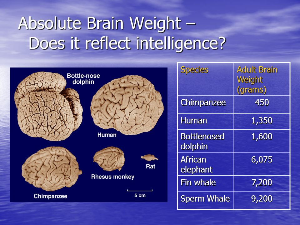 Absolute Brain Weight – Does it reflect intelligence