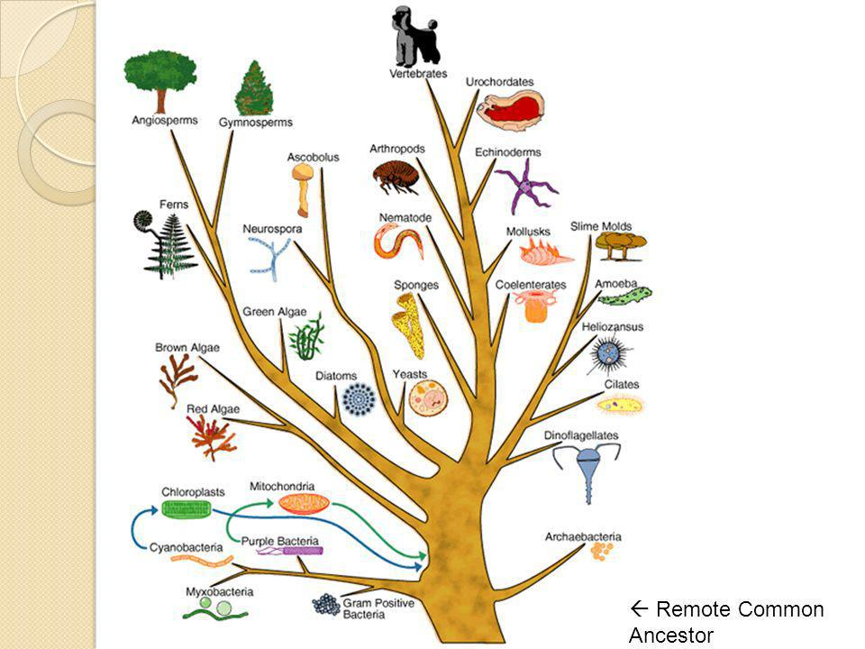  Remote Common Ancestor