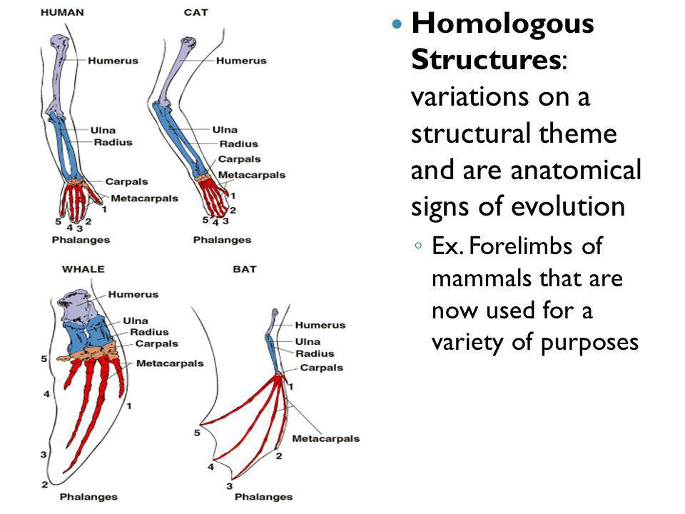Homologous Structures: variations on a structural theme and are anatomical signs of evolution