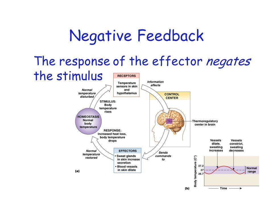 Negative Feedback The response of the effector negates the stimulus