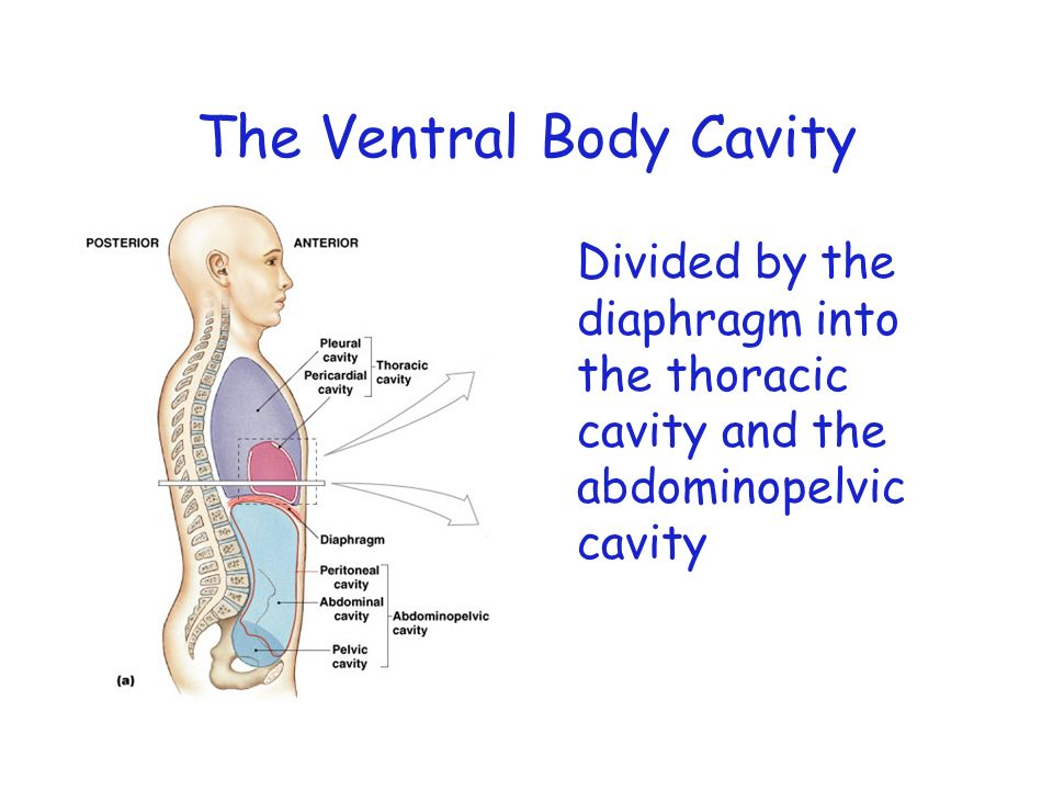 The Ventral Body Cavity