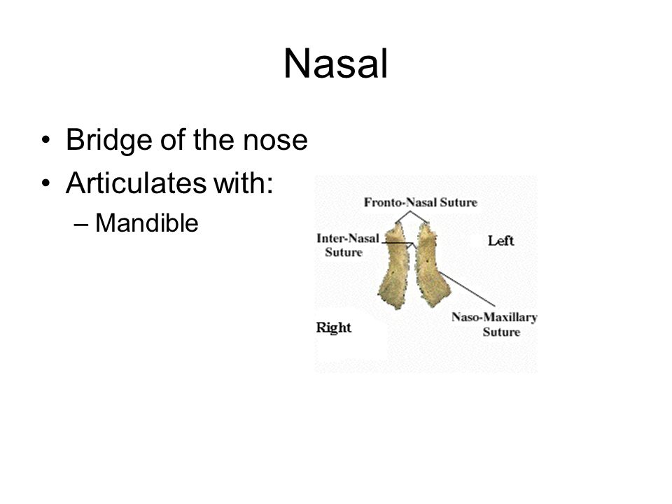 Nasal Bridge of the nose Articulates with: Mandible