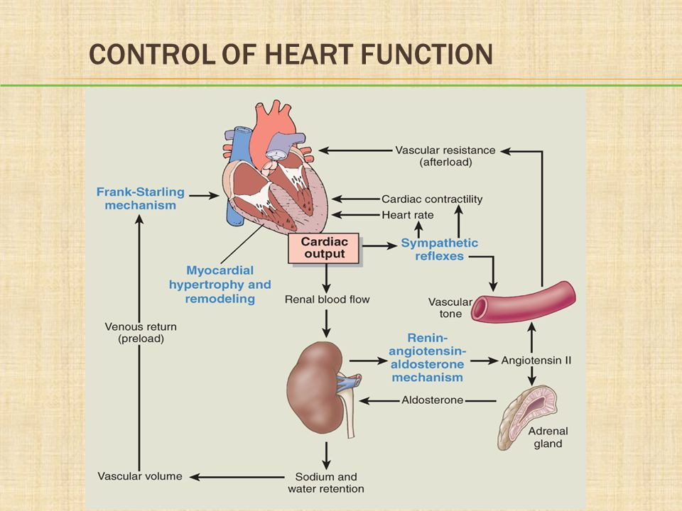 mechanism of heart function