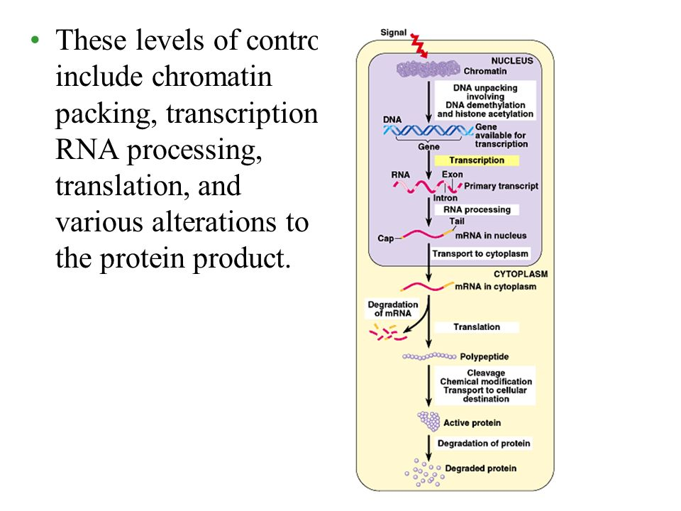 These levels of control include chromatin packing, transcription, RNA processing, translation, and various alterations to the protein product.