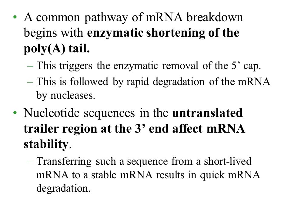 A common pathway of mRNA breakdown begins with enzymatic shortening of the poly(A) tail.
