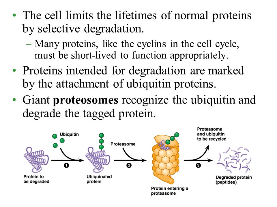 The cell limits the lifetimes of normal proteins by selective degradation.