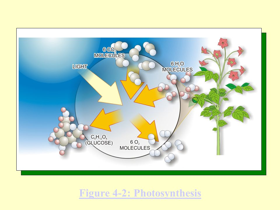 Figure 4-2: Photosynthesis