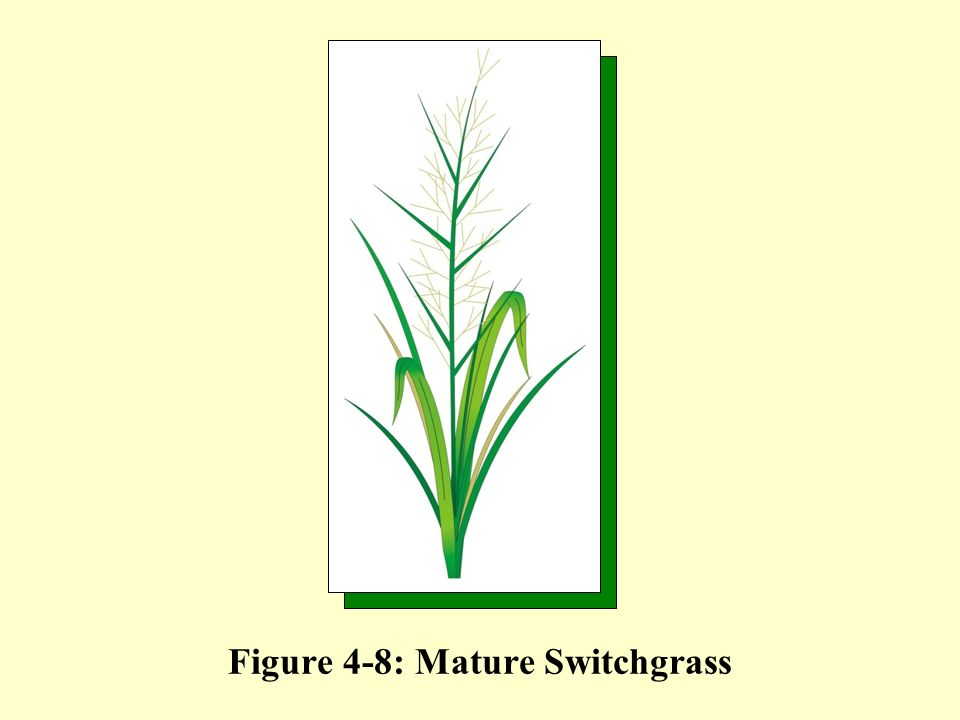 Figure 4-8: Mature Switchgrass