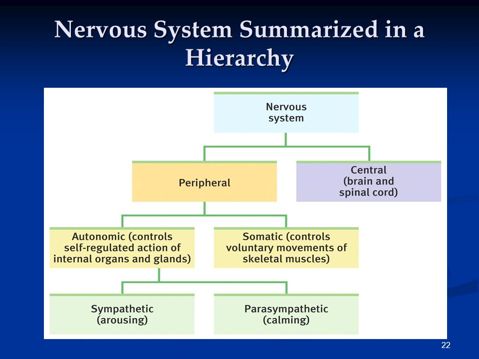 Nervous System Summarized in a Hierarchy