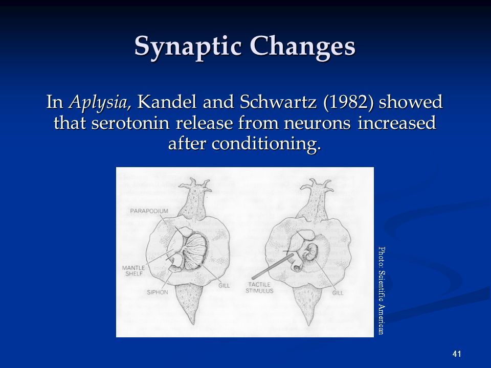 Synaptic Changes In Aplysia, Kandel and Schwartz (1982) showed that serotonin release from neurons increased after conditioning.
