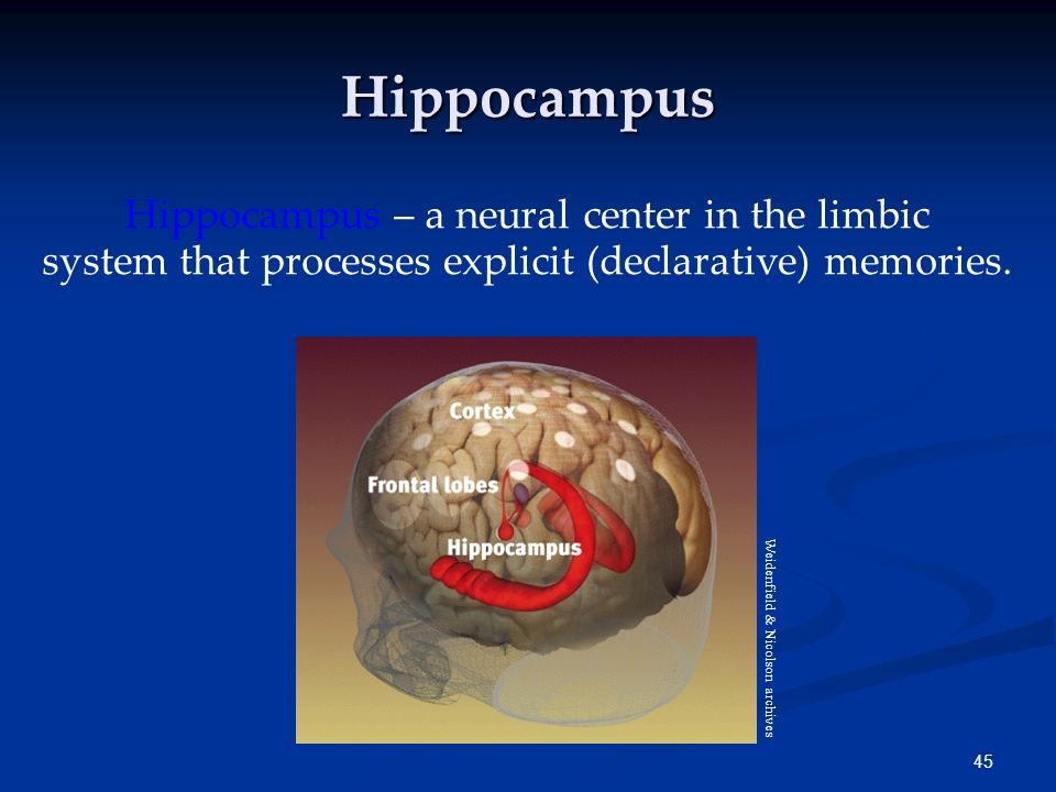 Hippocampus Hippocampus – a neural center in the limbic