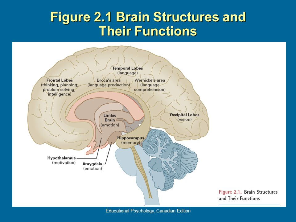 Figure 2.1 Brain Structures and Their Functions