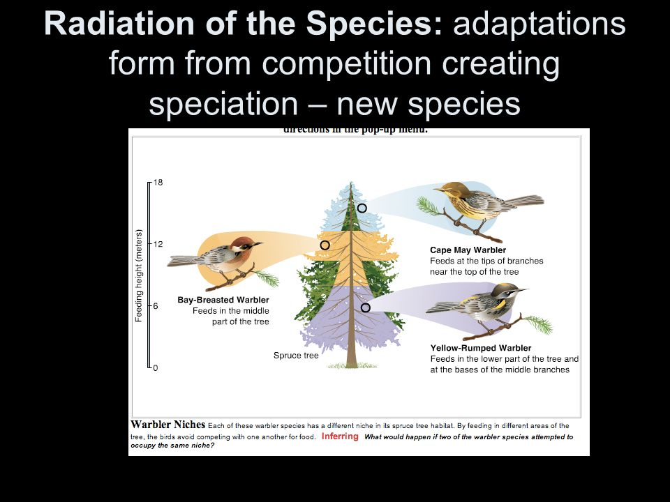 Radiation of the Species: adaptations form from competition creating speciation – new species