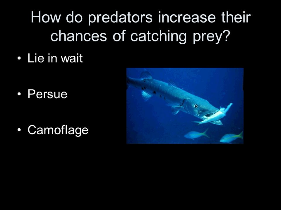 How do predators increase their chances of catching prey