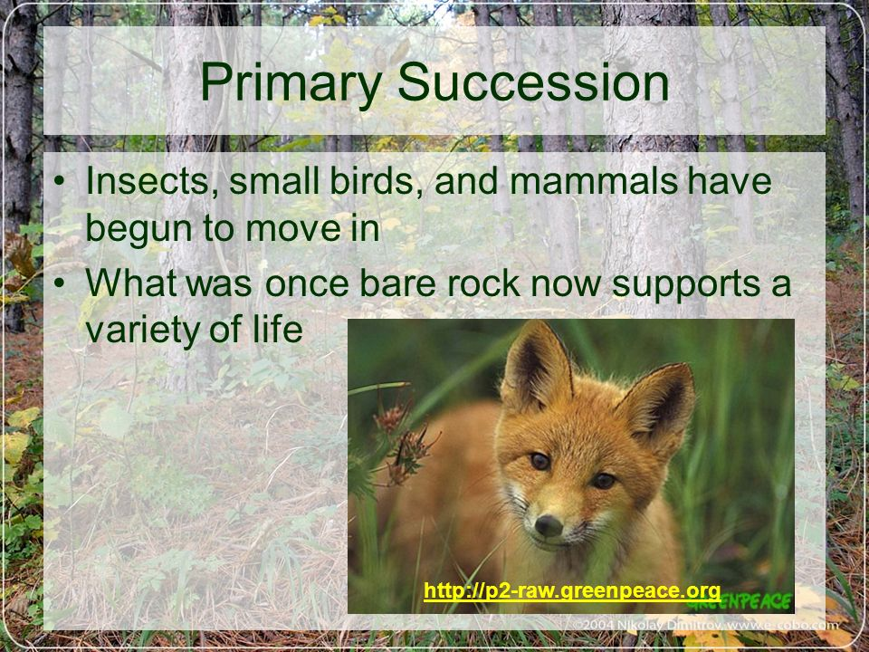Primary Succession Insects, small birds, and mammals have begun to move in. What was once bare rock now supports a variety of life.