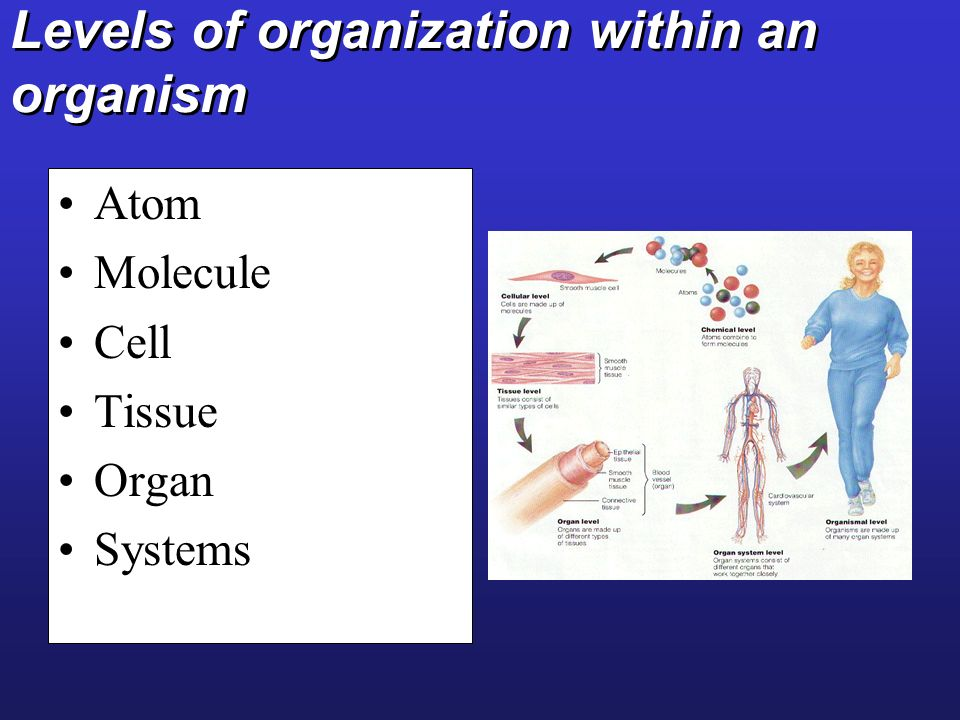 Levels of organization within an organism