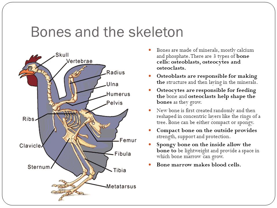 Bones and the skeleton