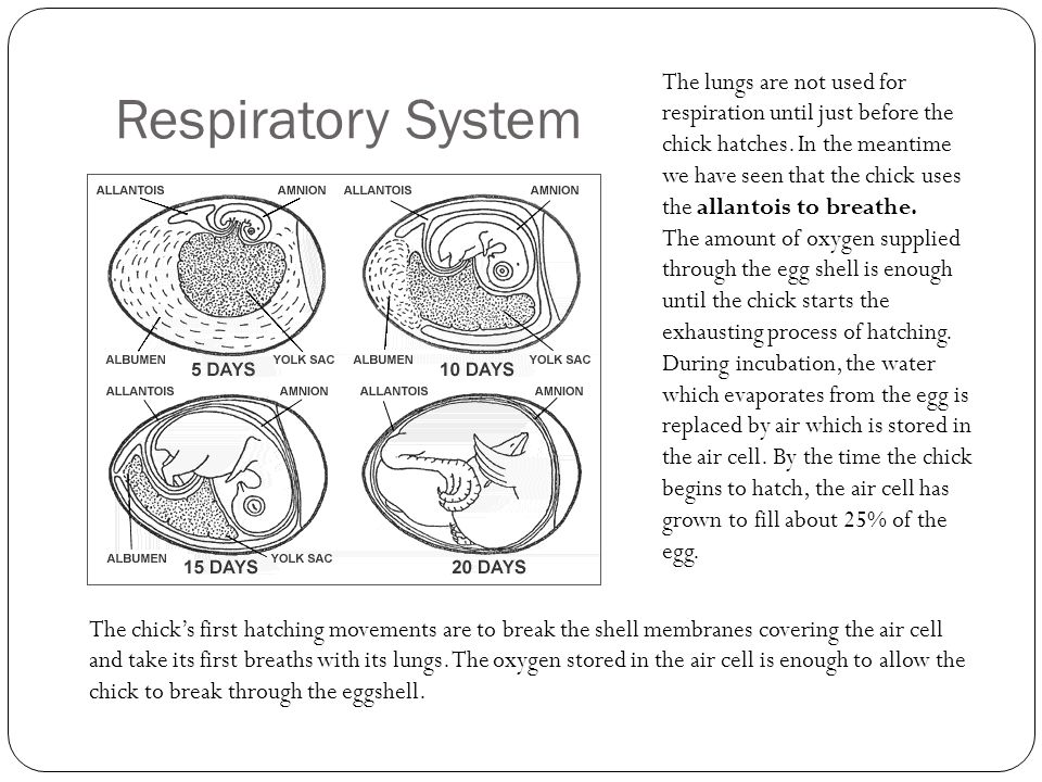 Respiratory System The lungs are not used for