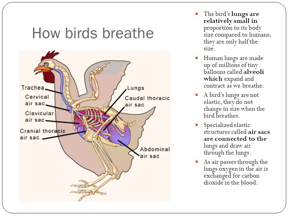How birds breathe The bird's lungs are relatively small in proportion to its body size compared to humans; they are only half the size.