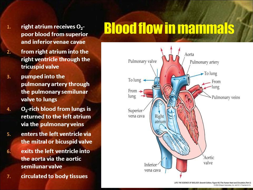 Blood flow in mammals right atrium receives O2- poor blood from superior and inferior venae cavae.