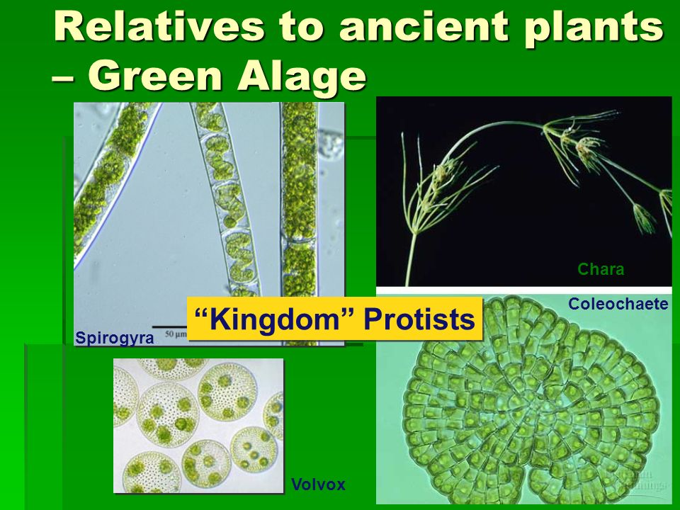 Relatives to ancient plants – Green Alage