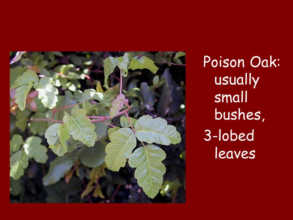 Poison Oak: usually small bushes,