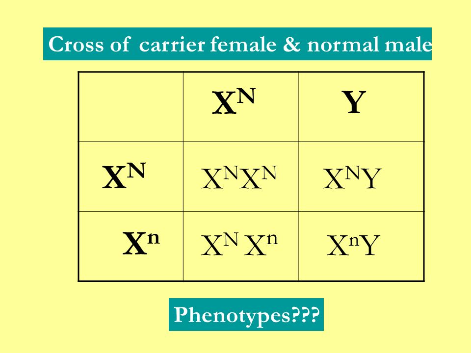 XN Y XN Xn XNXN XNY XN Xn XnY Cross of carrier female & normal male
