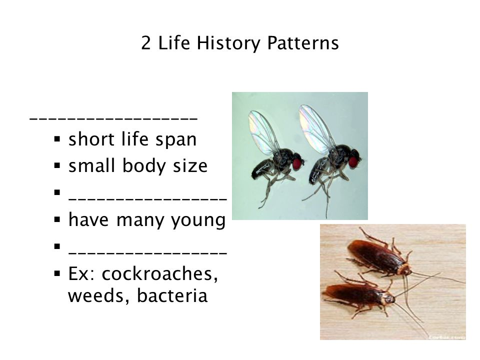 2 Life History Patterns __________________. short life span. small body size. _________________.