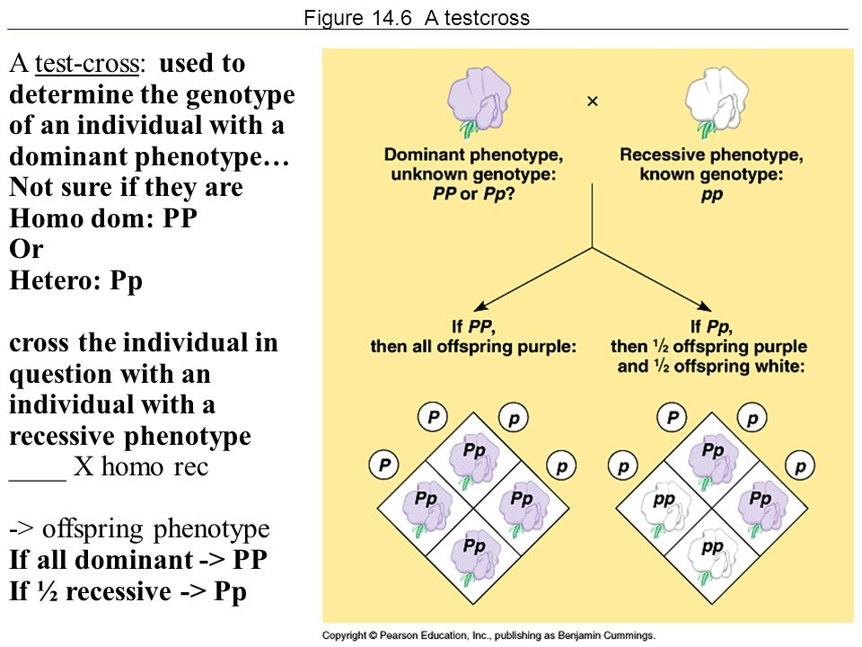 -> offspring phenotype If all dominant -> PP