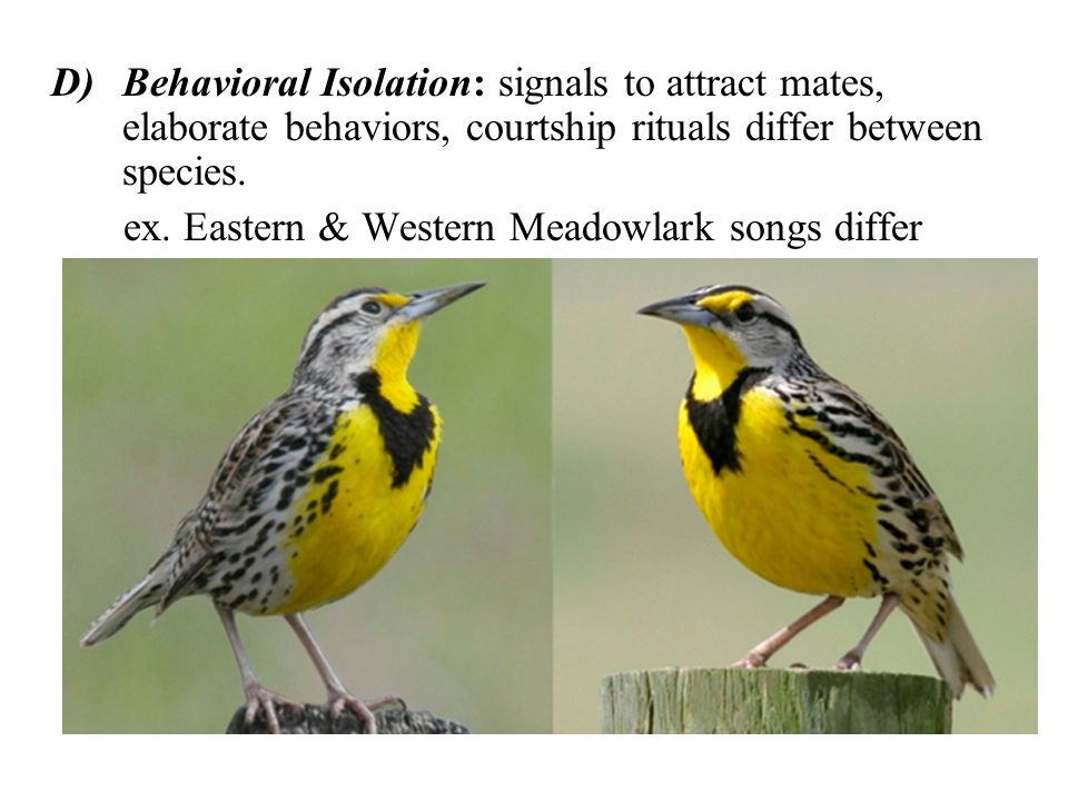 Behavioral Isolation: signals to attract mates, elaborate behaviors, courtship rituals differ between species.
