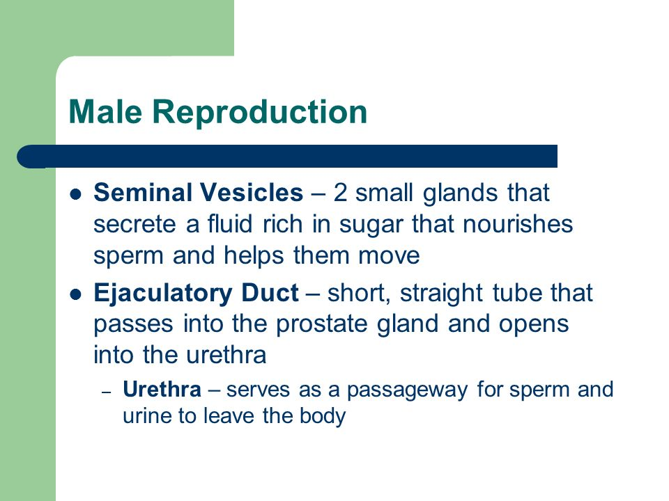 Male Reproduction Seminal Vesicles – 2 small glands that secrete a fluid rich in sugar that nourishes sperm and helps them move.