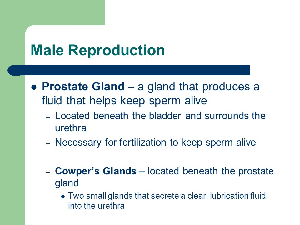 Male Reproduction Prostate Gland – a gland that produces a fluid that helps keep sperm alive. Located beneath the bladder and surrounds the urethra.