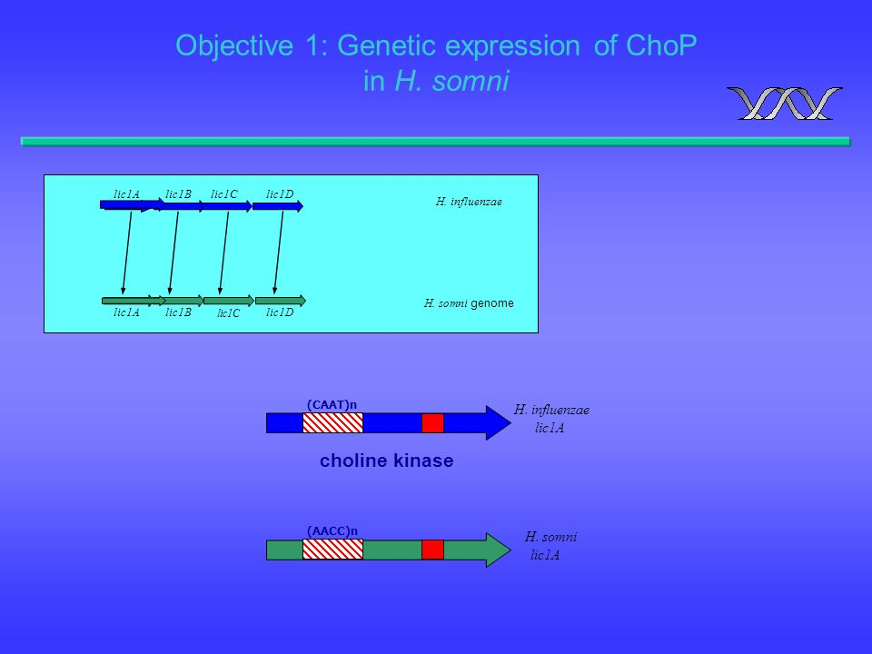 Objective 1: Genetic expression of ChoP in H. somni