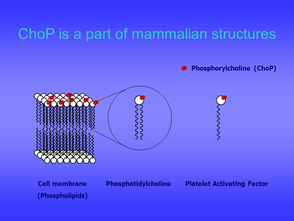 ChoP is a part of mammalian structures