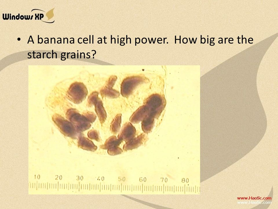 A banana cell at high power. How big are the starch grains