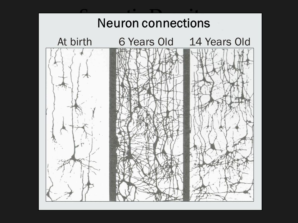 Synaptic Density Neuron connections At birth 6 Years Old 14 Years Old