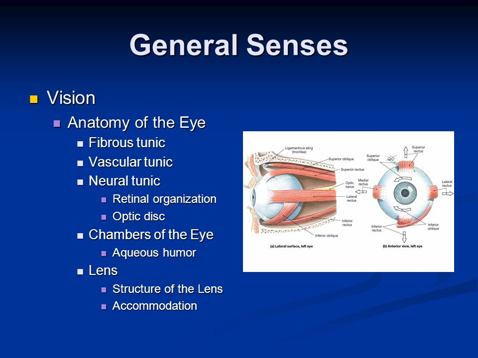 General Senses Vision Anatomy of the Eye Fibrous tunic Vascular tunic