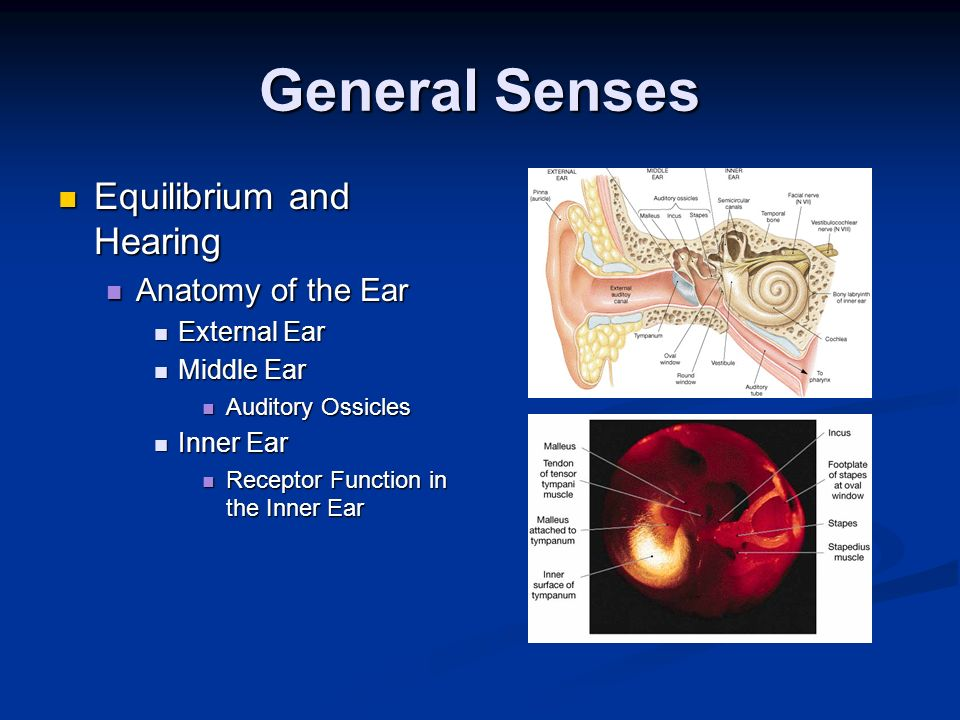 General Senses Equilibrium and Hearing Anatomy of the Ear External Ear