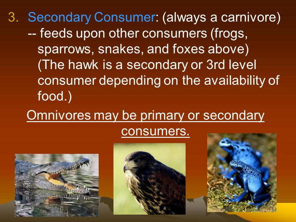 Omnivores may be primary or secondary consumers.