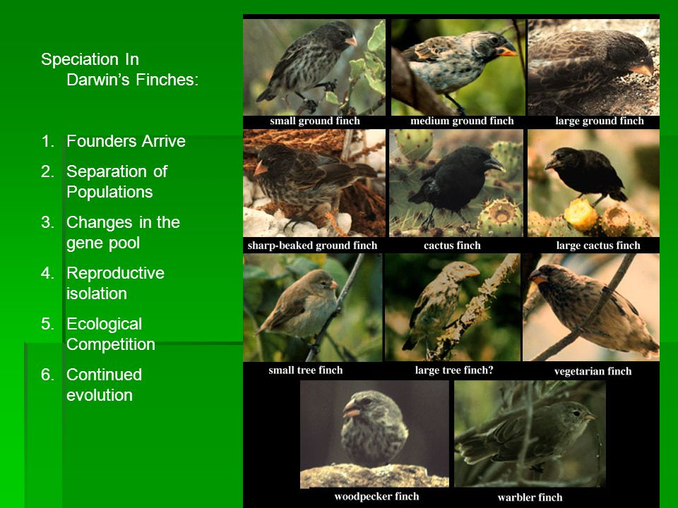Speciation In Darwin's Finches:
